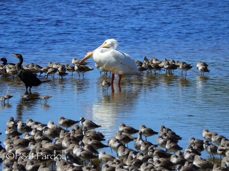 Shore birds and pelican