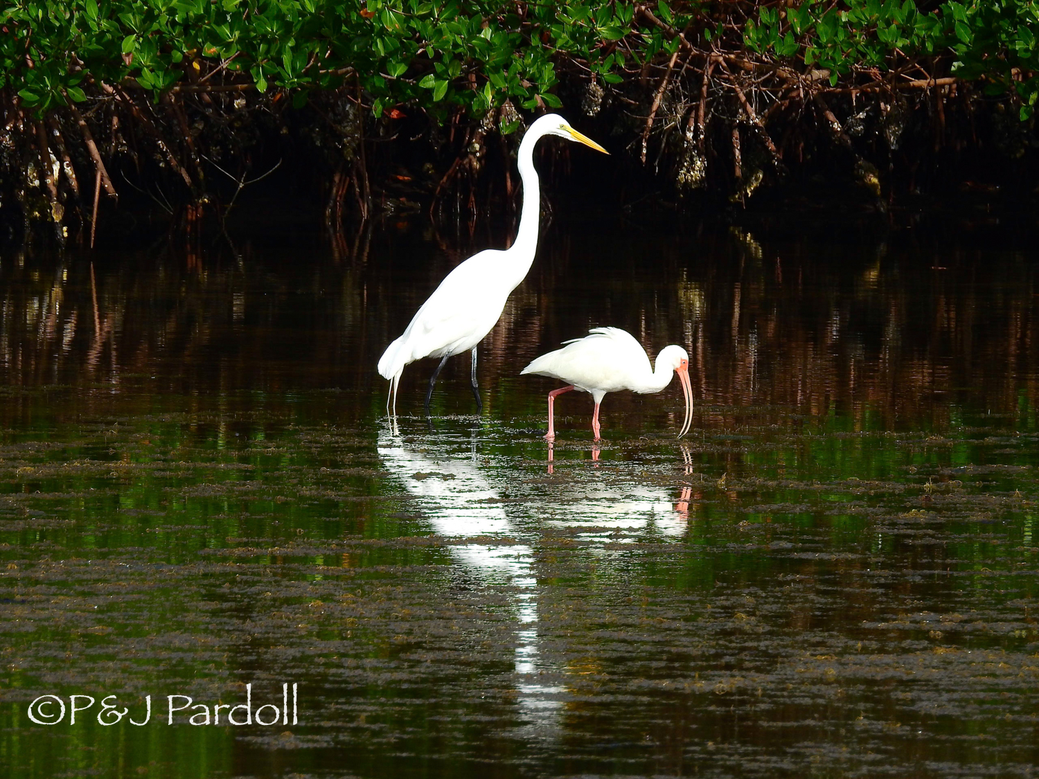 Great Egret and White Ibin