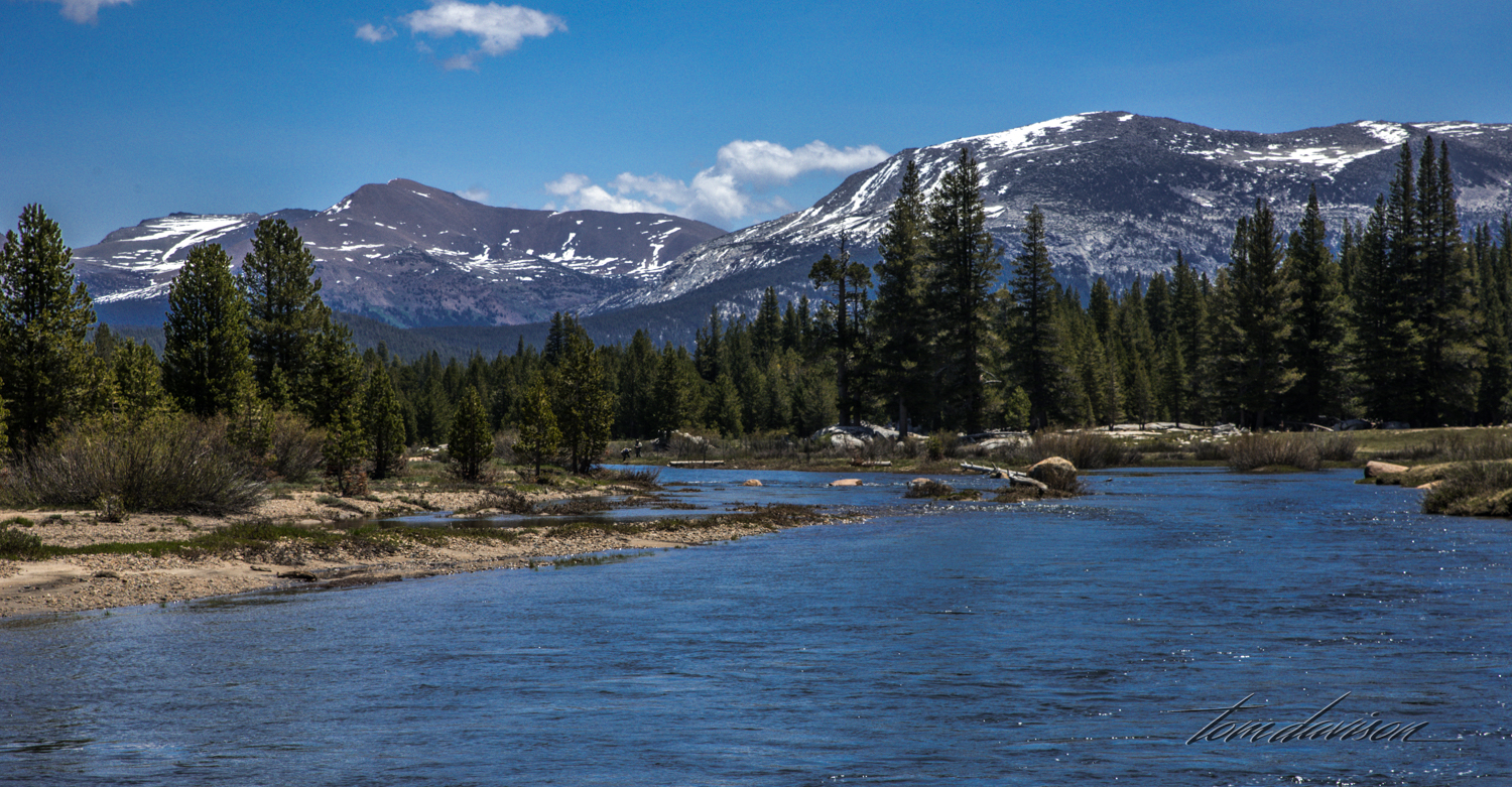 Most of the water that filters through Tuolumne Meadows is collected in the Hetch Hetchy Reservoir and then becomes an important source of drinking water for San Francisco.