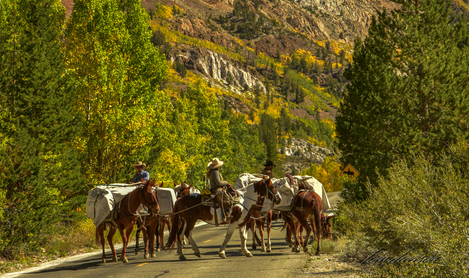 Mules and pack trains are a thriving business in the area. Cars gladly share the road.