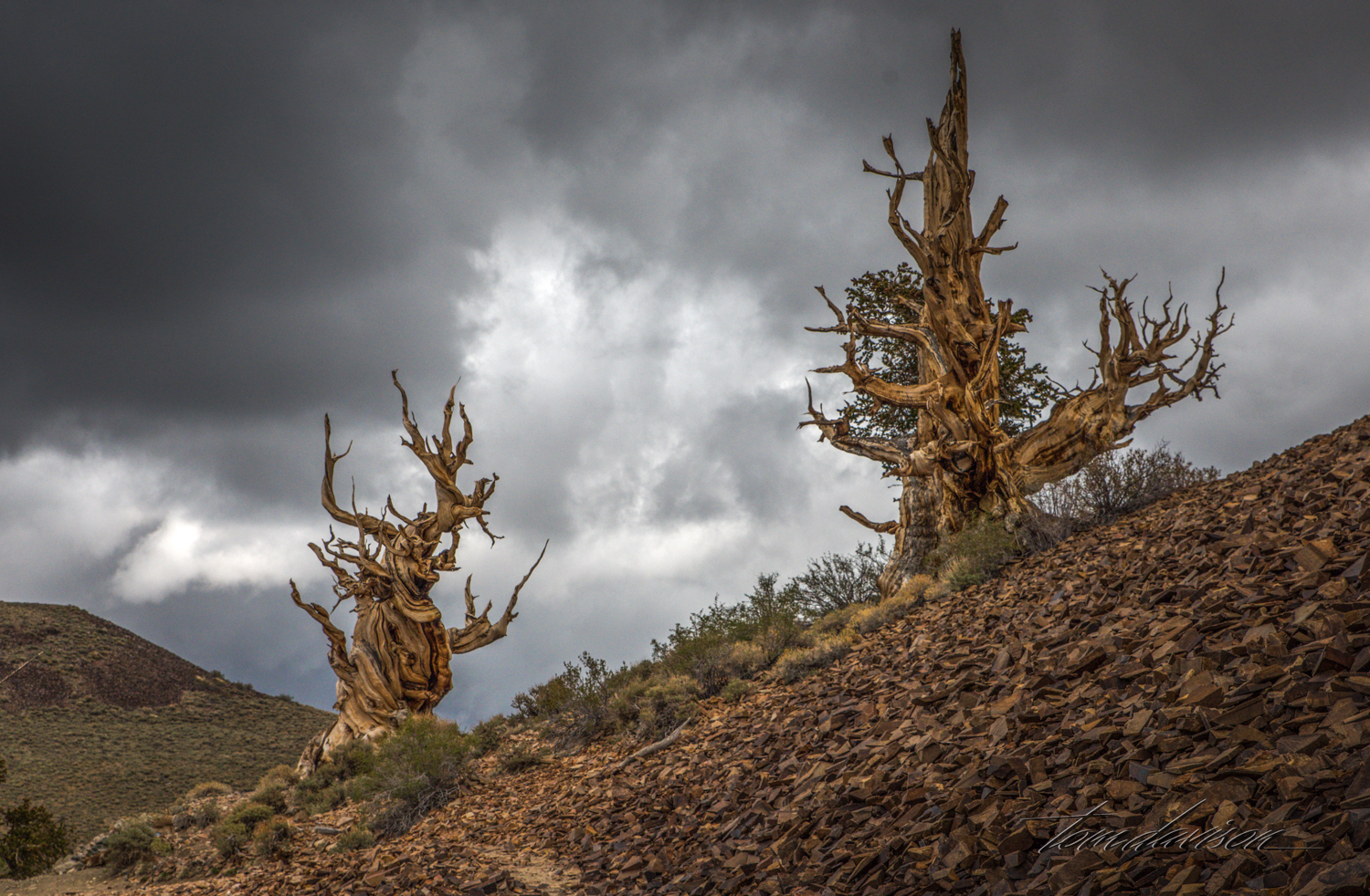 Ancient pines at Bristlecone National Monument.
