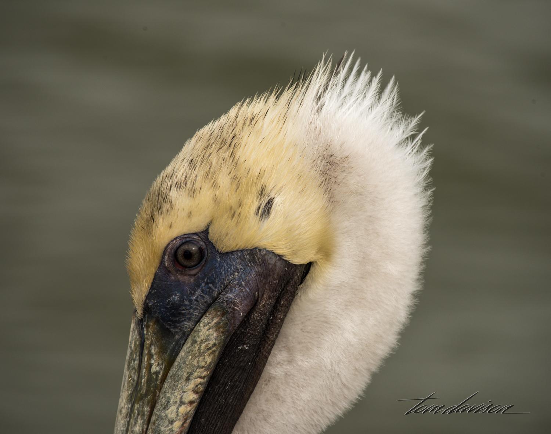 Brown Pelican (here's lookin' at ya baby!)