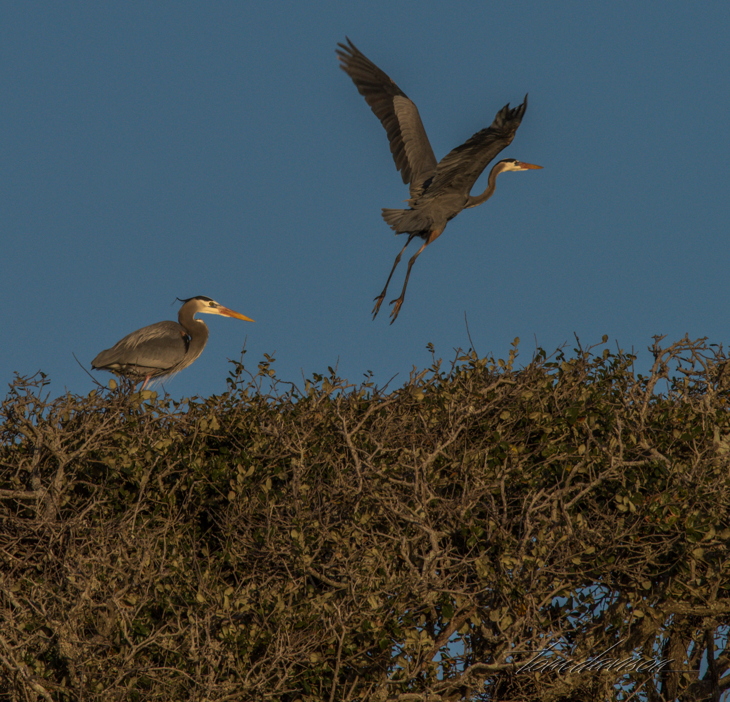 Herons atop tall live oaks where they have. built their nests