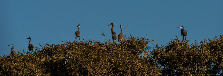 Herons atop live oaks