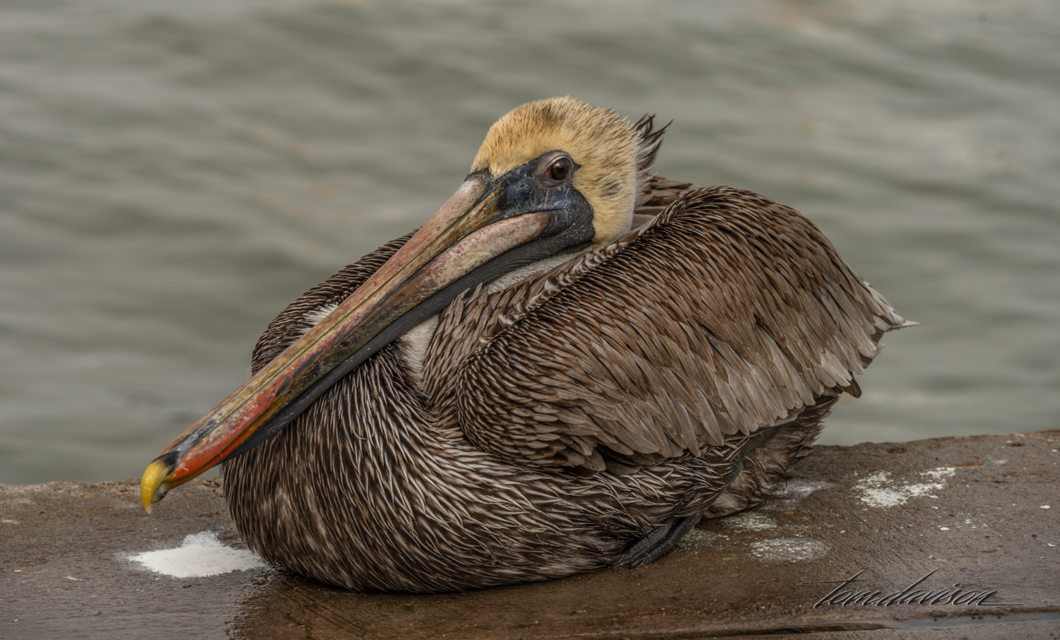 Brown Pelican waiting for his lunch at a fish cleaning station