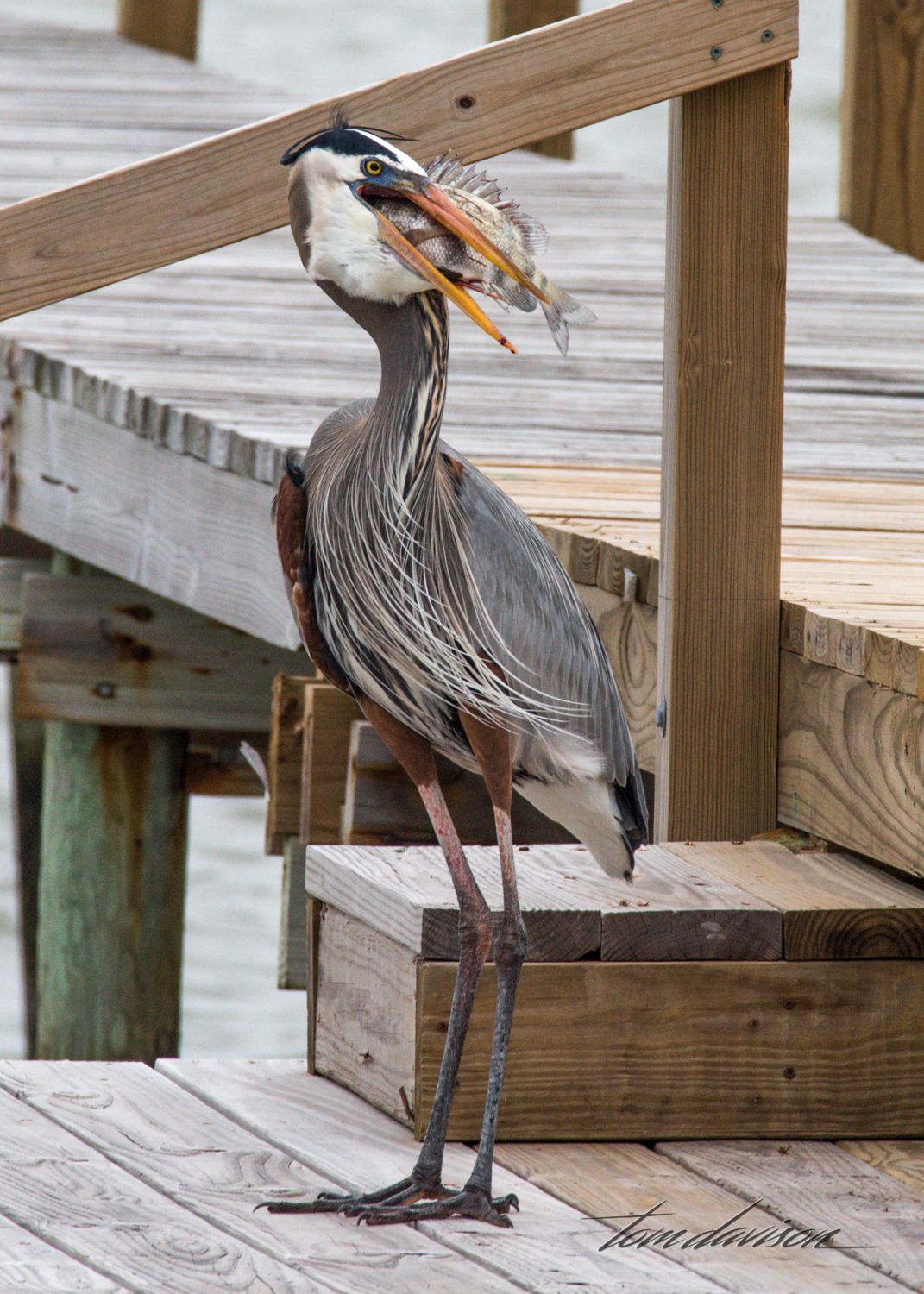 Tri-colored Heron with Sheephead fish