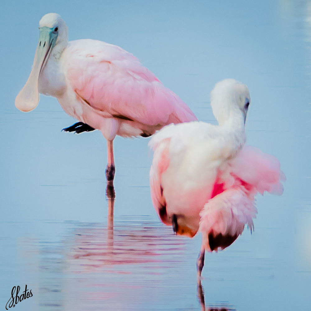 Roseate Spoonbills, referred to as 'rosies' around here