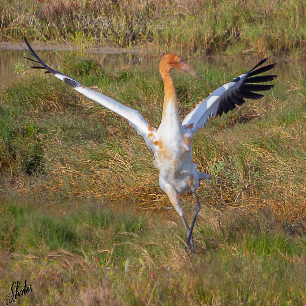 Colt Whooping Crane (dancing!)
