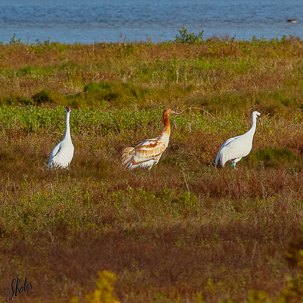 Adult Whooping Cranes with their juvenile 'colt'