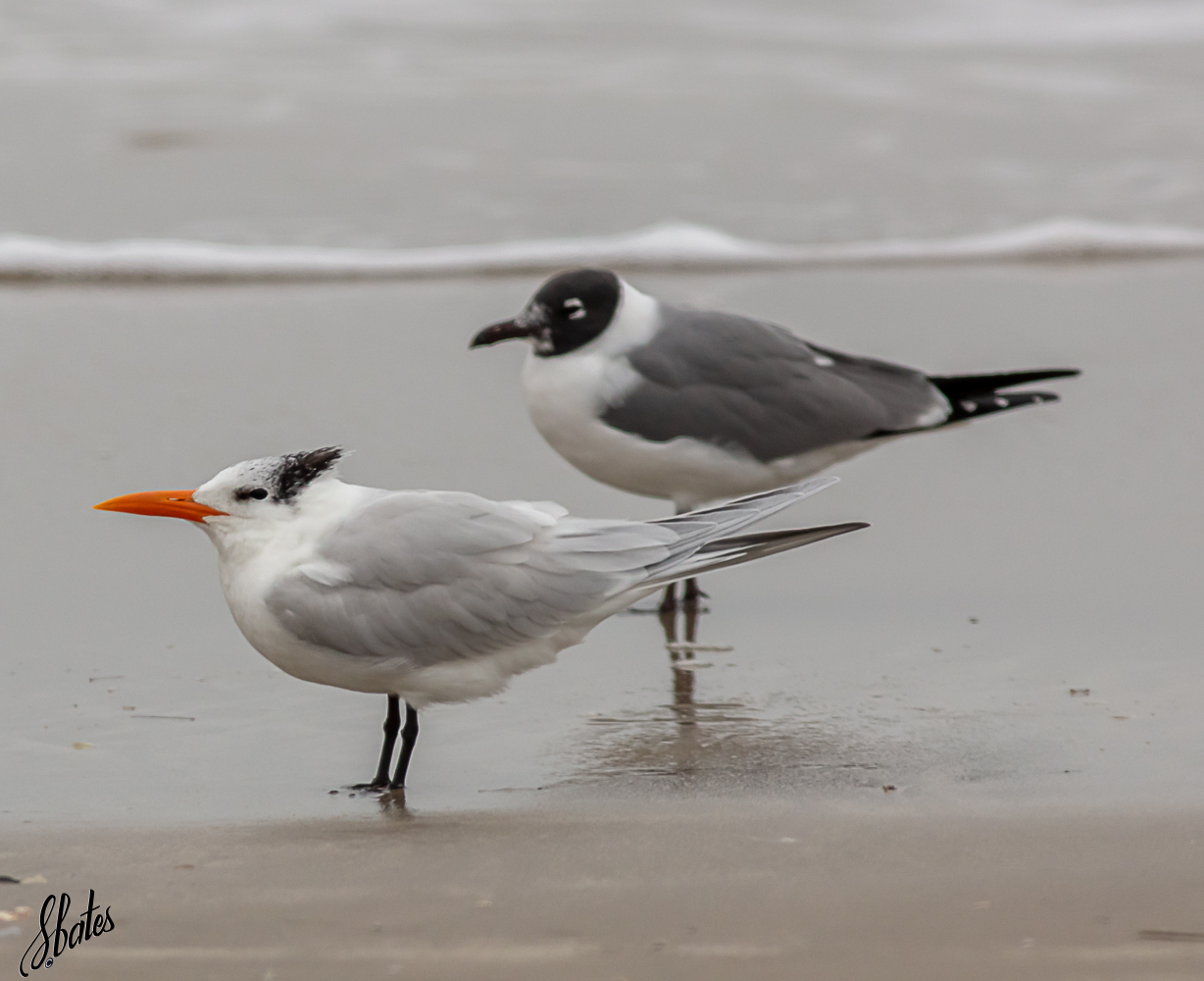 Front bird is a Kingfisher and the back bird is a Laughing Gull