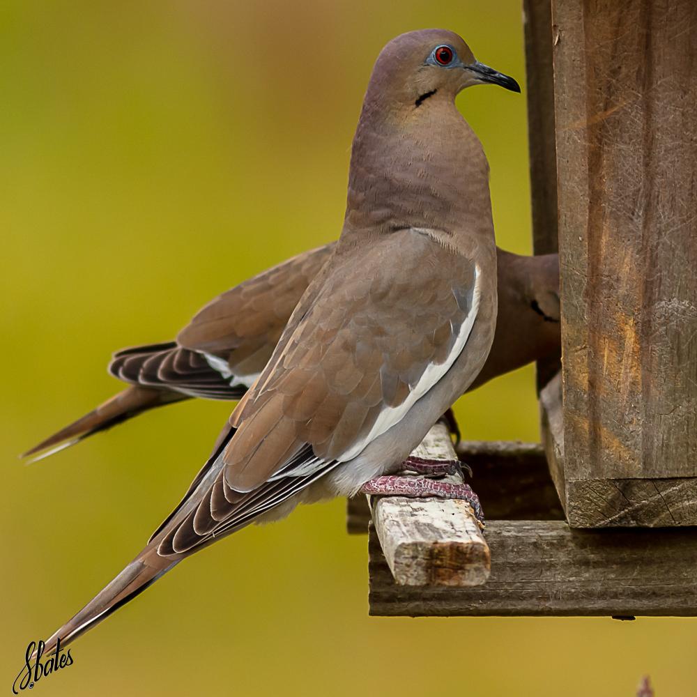 Morning Dove at Steve's feeder