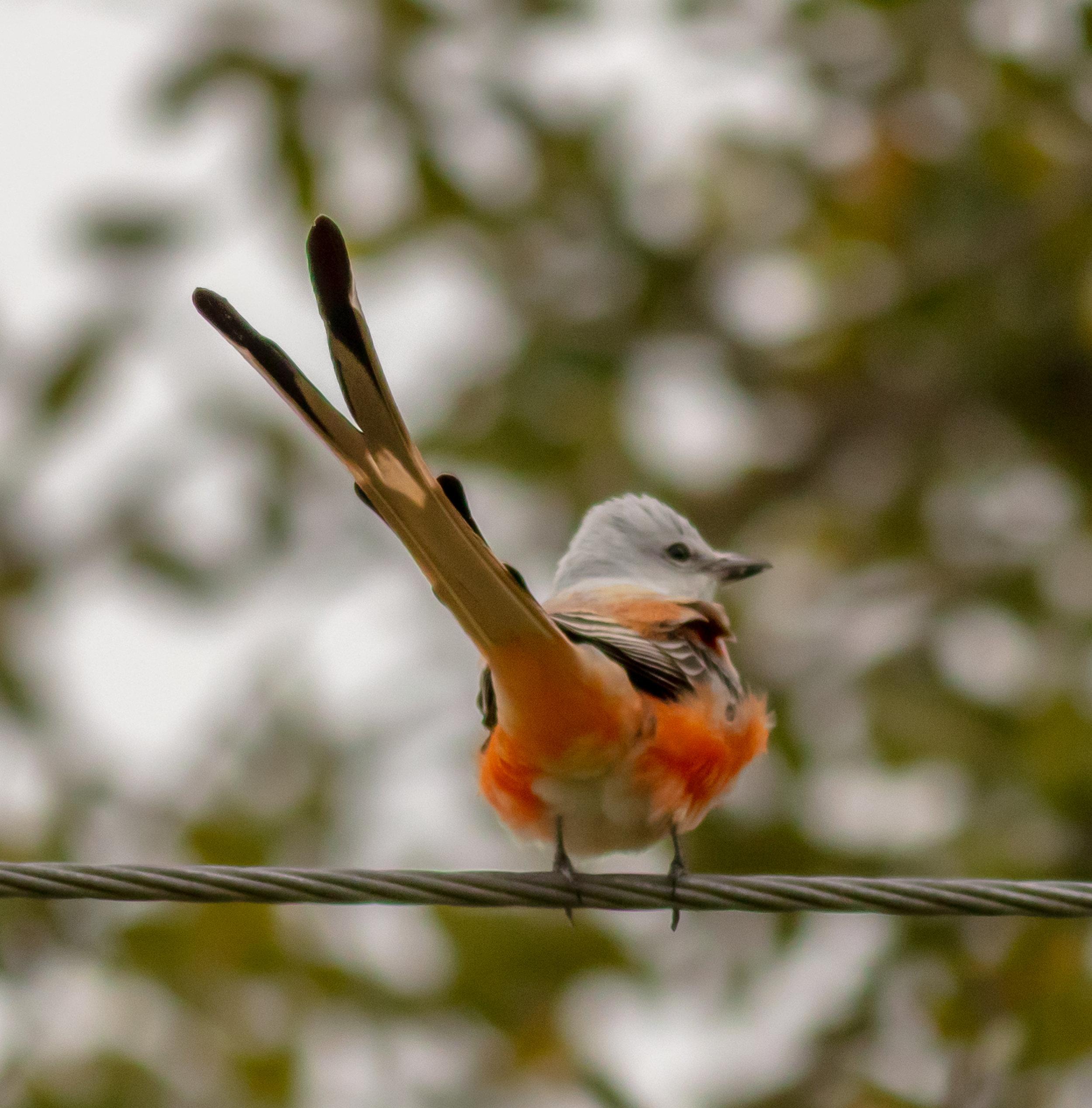Split-tail Fly Catcher