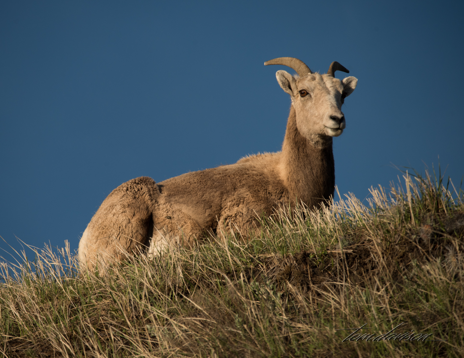 We saw plenty of Big Horn sheep. They are very used to tourist traffic and will pass within feet of photographers.