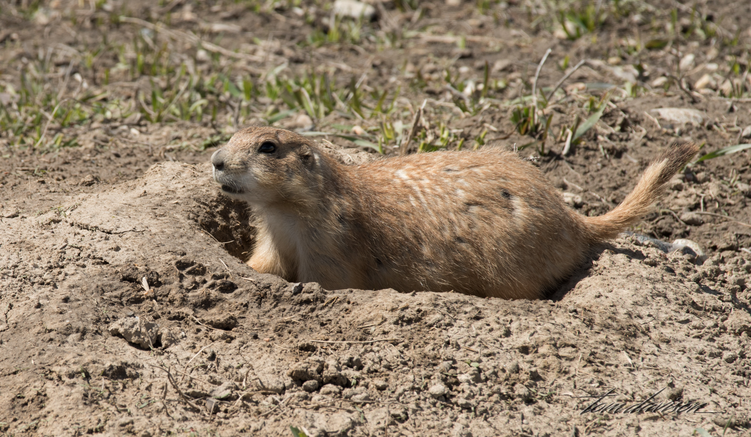 This is a prairie dog. I would have been thrilled to spot a black-footed ferret. The ferrets were once thought to be extinct but were discovered in the wilderness of Wyoming. A program to save them in captivity and then reintroduce them to the prairie in the Badlands National Park seems to have been successful.