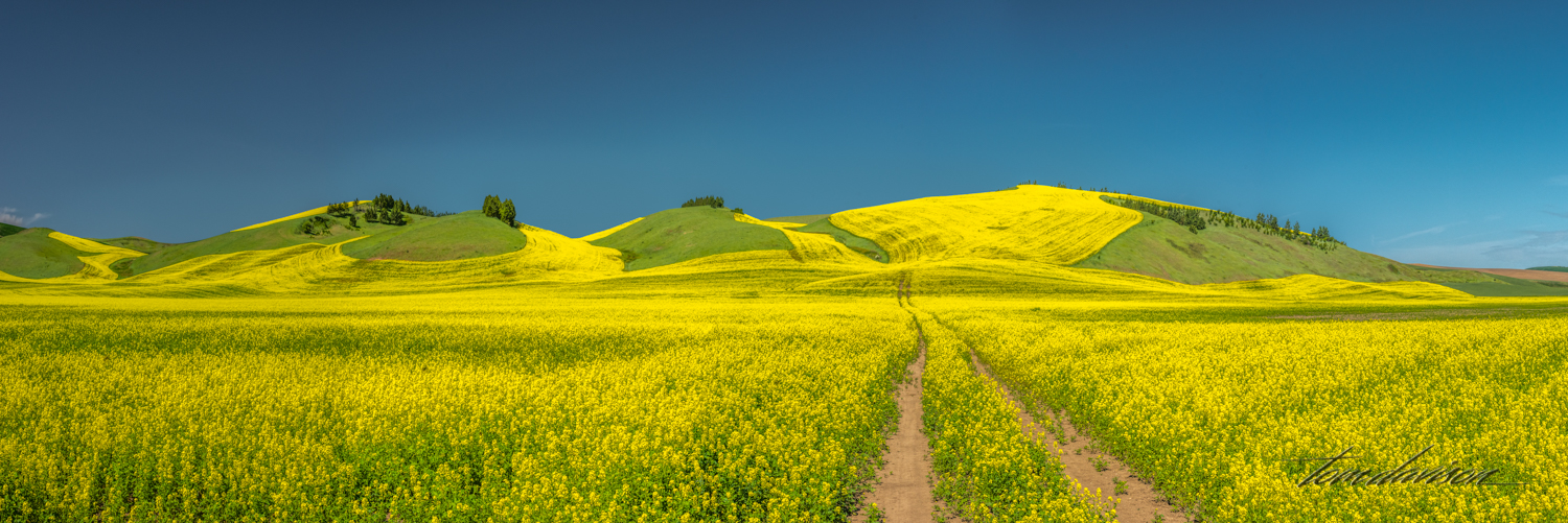 When we first arrived in Palouse the canola plants had not started to produce their flower which gives the landscape that gorgeous yellow that we love. By the time we left it was just beginning to show up in some fields. There was just a hint of it in some of the first photographs above.