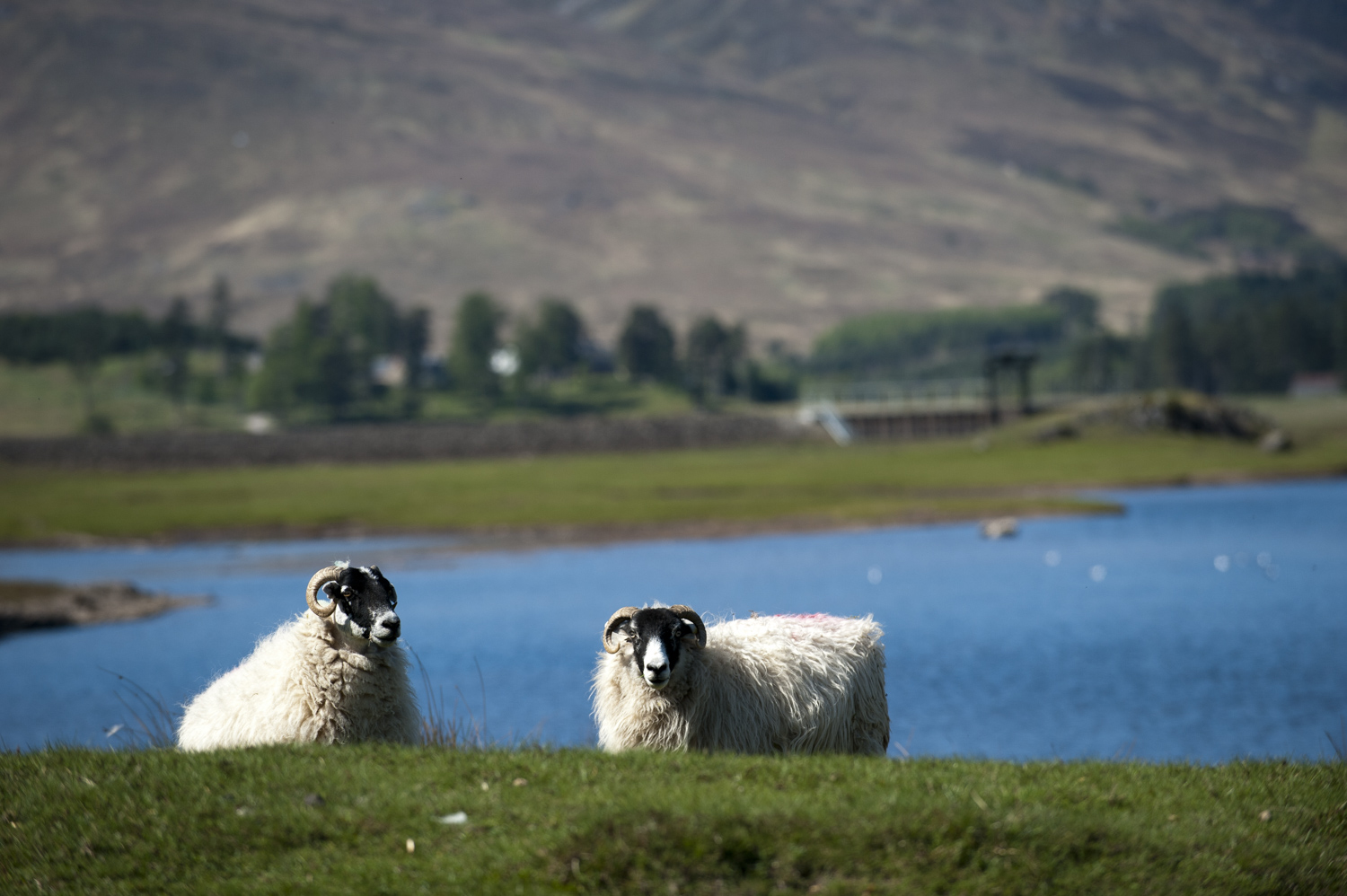 The wooly locals