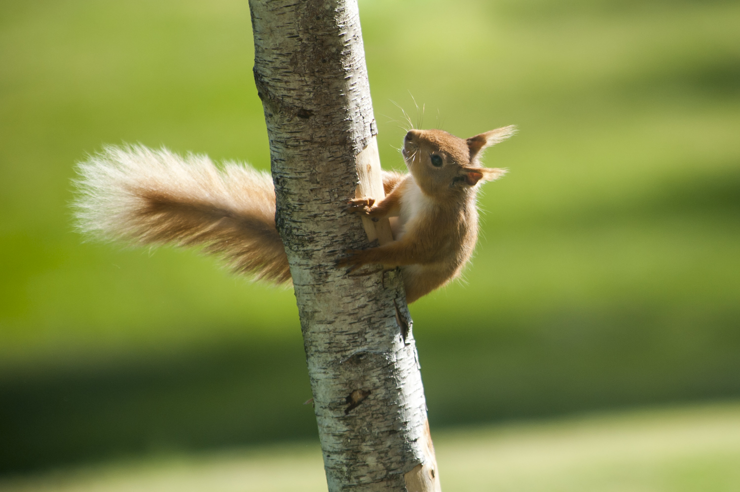 Red Squirrel on the Castle grounds
