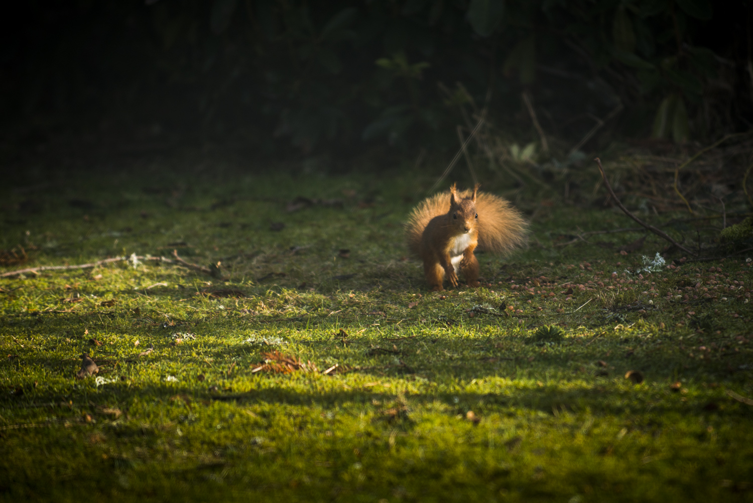 Red Squirrel on the estate