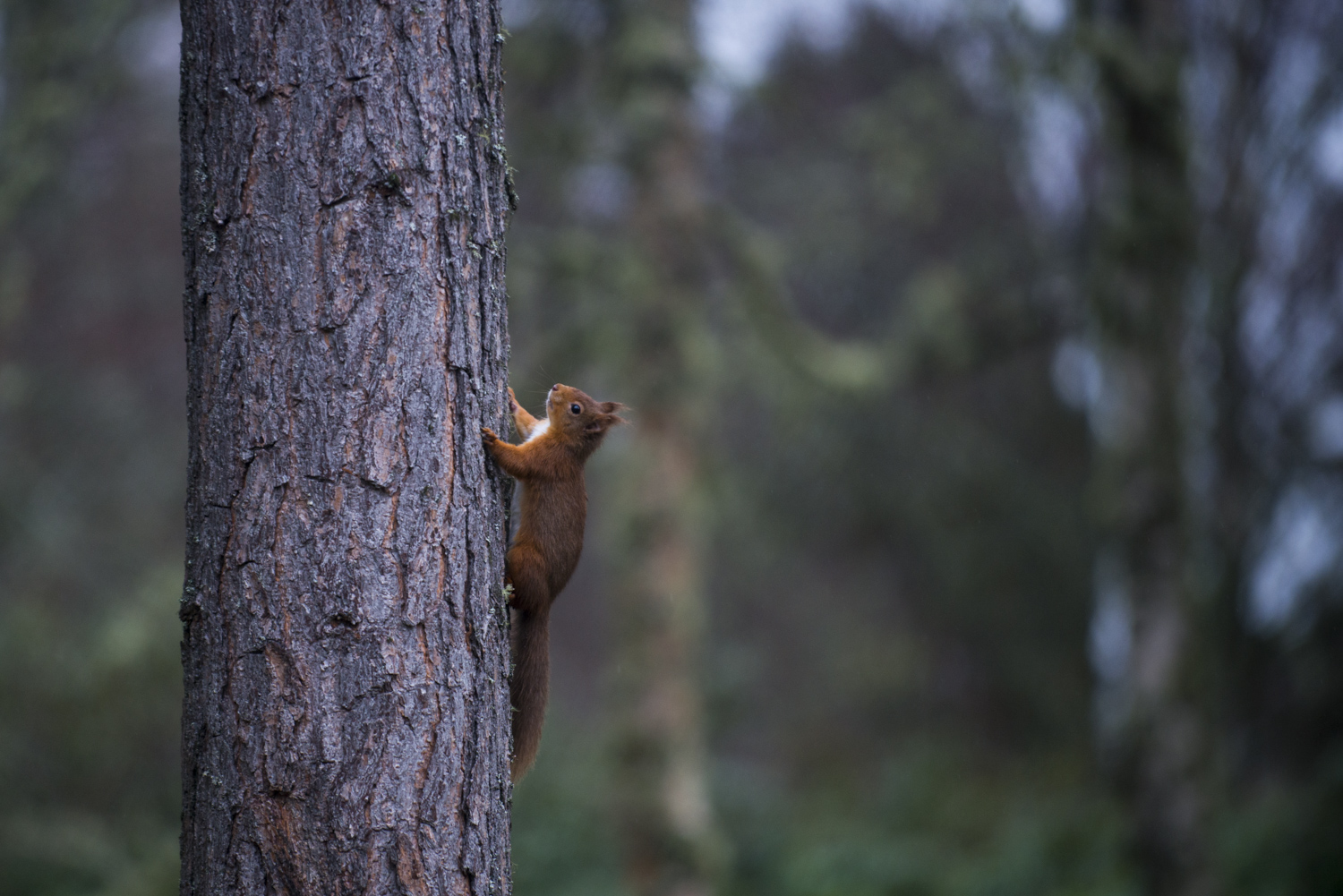 Red Squirrel seen from the Coach House