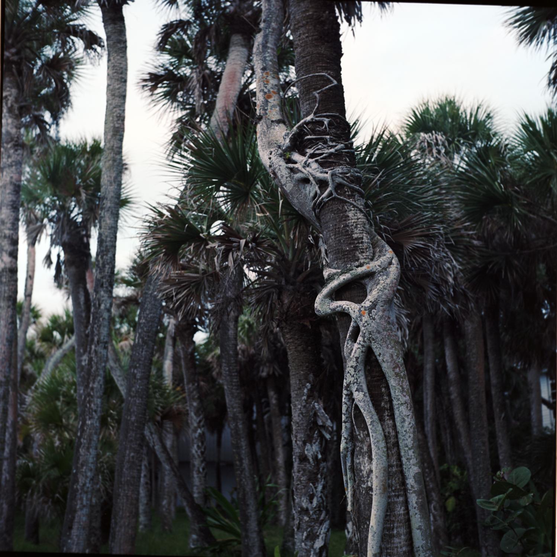 florida knotted tree.jpg