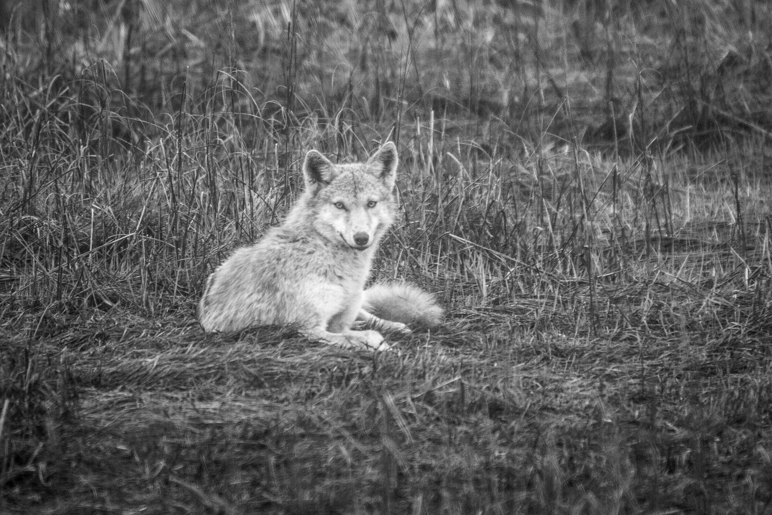 A coyote rests in the grass on a foggy morning inside the Galilee Bird Sanctuary in Narragansett, Rhode Island.