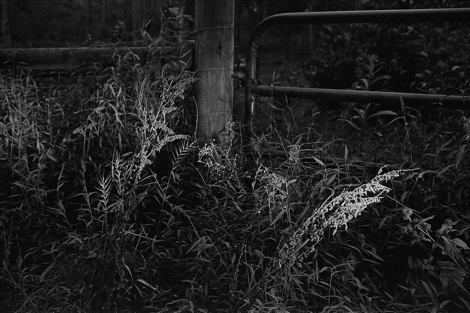 Gate and weeds in headlights.  Orange County, Virginia.  2014.