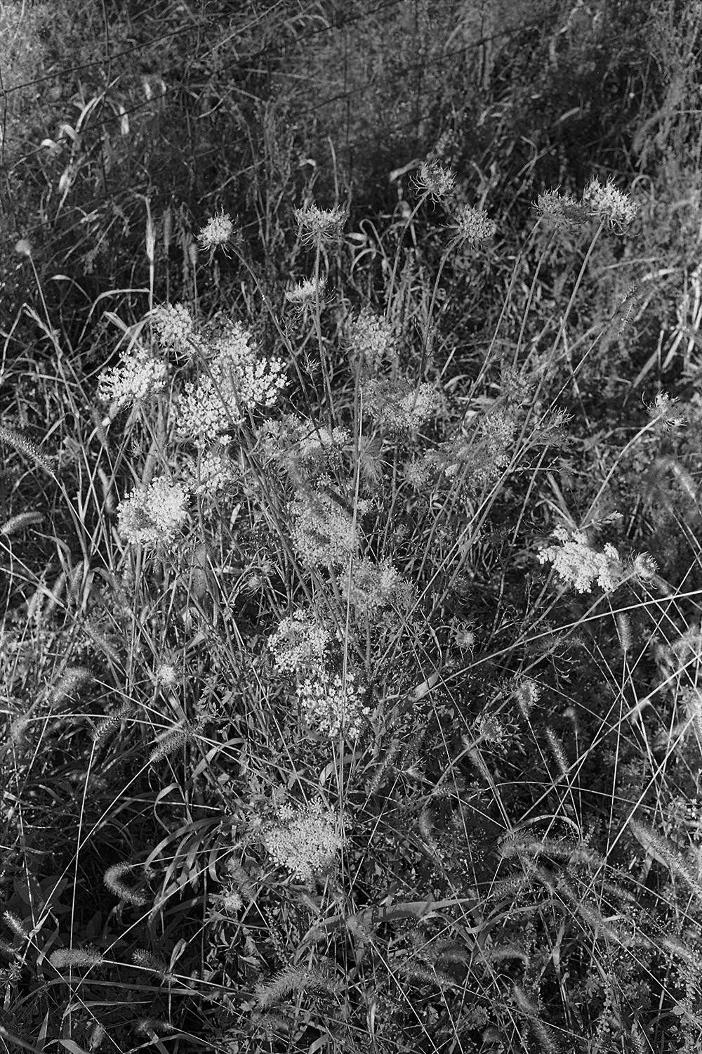 Queen Anne's Lace.  Rappahannock County, Virginia.  2014.