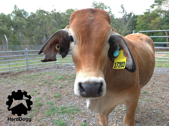 HerdDogg requires minimal technical expertise and provides immediate insights without any previous health history or animal records.