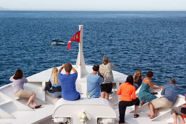 Humpback whale, Safari Endeavour, Sea of Cortés.