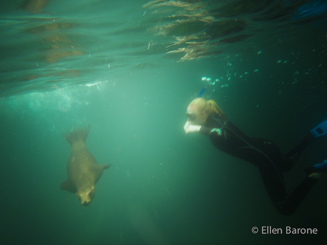 Swimming with sea lions, Los Islotes, Sea of Cortés.
