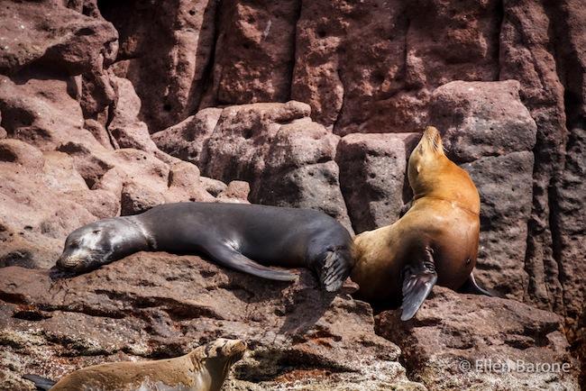 California sea lions, Los Islotes, Sea of Cortés.