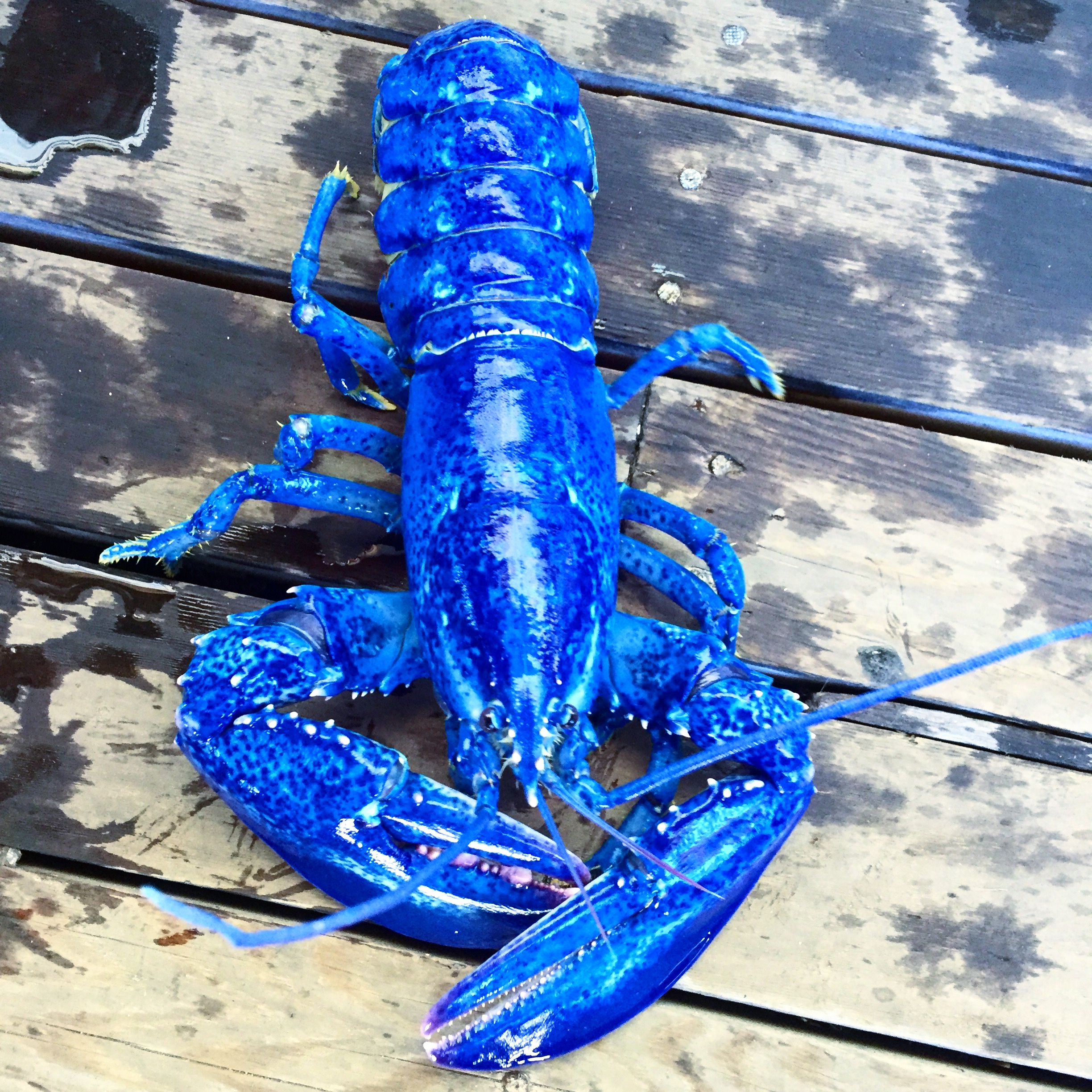 A rare blue lobster... NO FILTER!