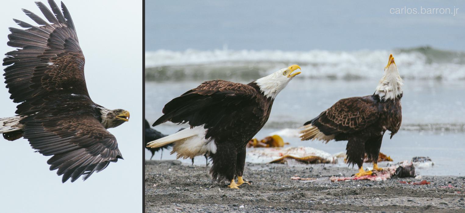 Bald Eagles at Anchor Point   © Carlos Barron Jr