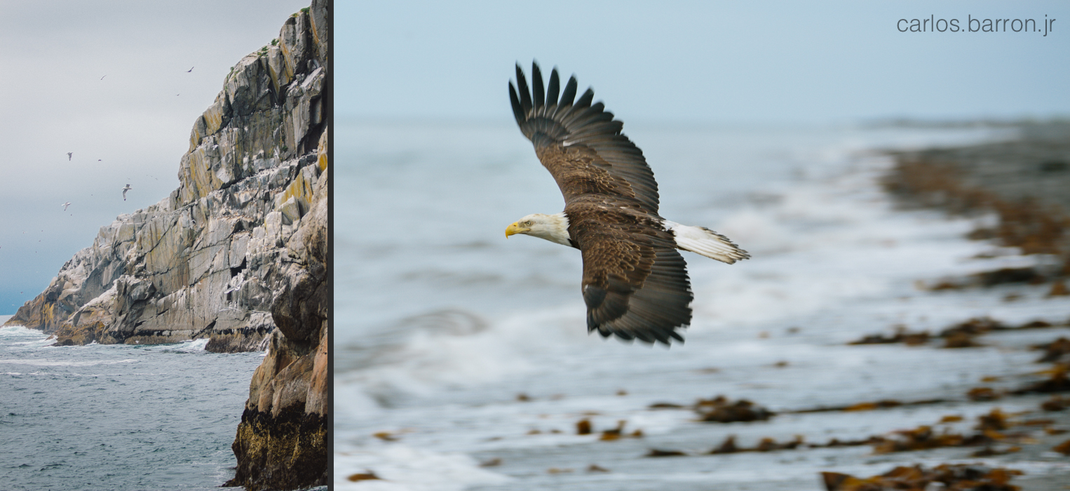 Anchor Point Eagle - Kenai Fjords   © Carlos Barron Jr