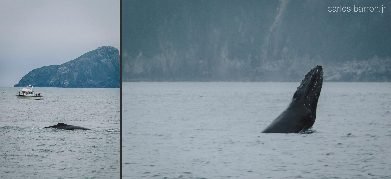 Kenai Fjords Humpback Whale   © Carlos Barron Jr