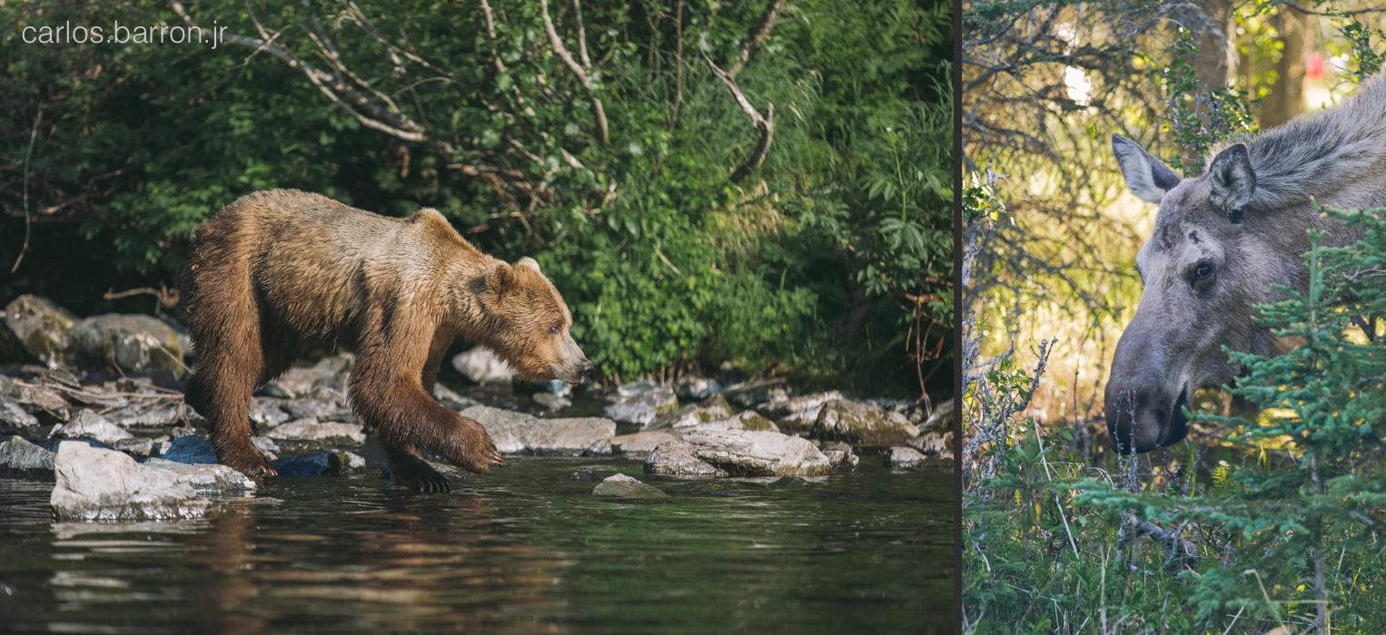 Wolverine Creek Brown Bears - Moose   © Carlos Barron Jr