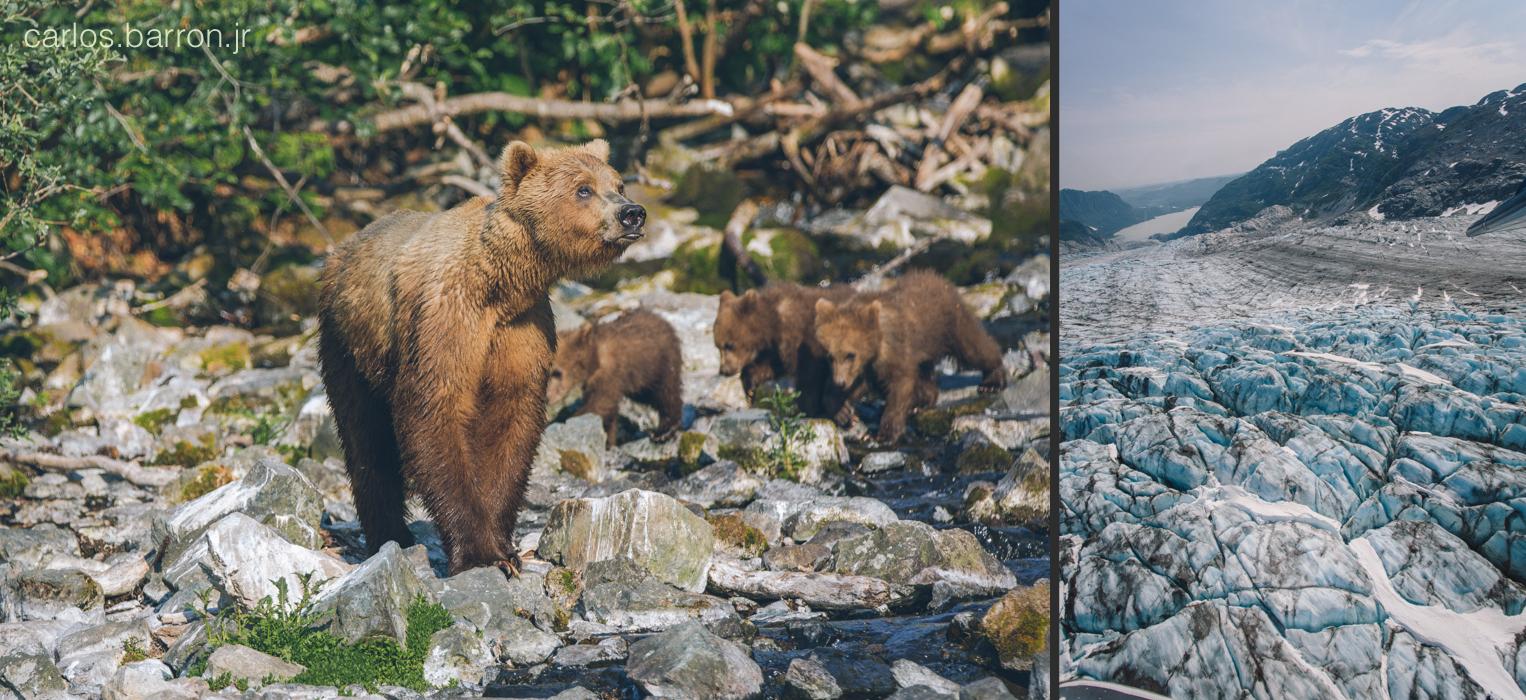 Wolverine Creek Brown Bears - Double Glacier   © Carlos Barron Jr