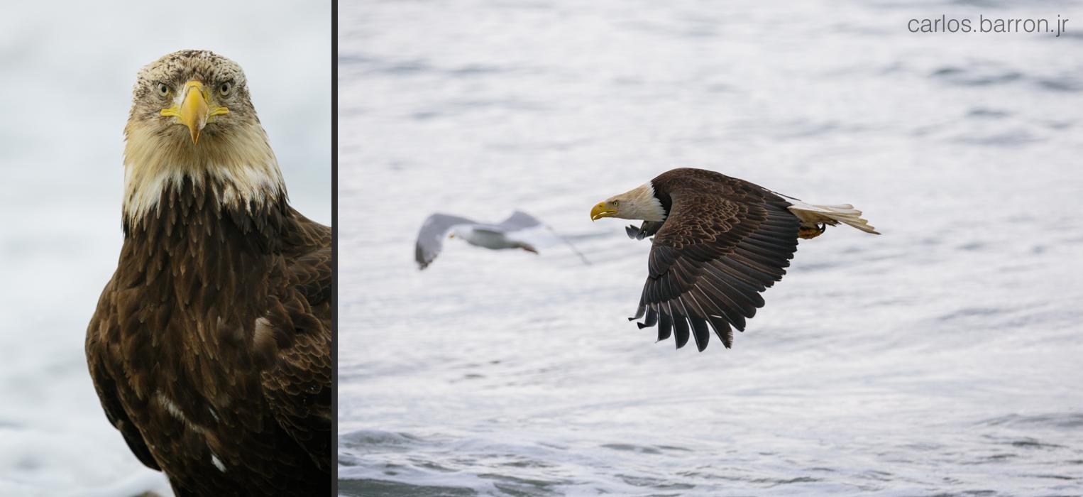 Anchor Point Eagles   © Carlos Barron Jr