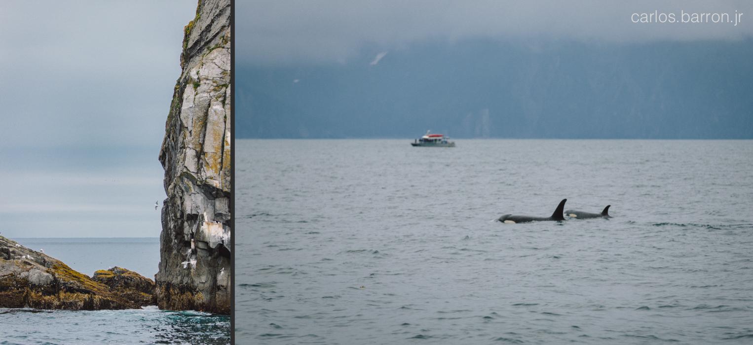Kenai Fjords Killer Whales   © Carlos Barron Jr