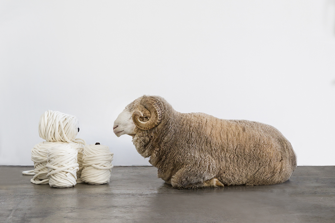 Fred the Merino Ram eyeing off some K1S1. The School. Image by Aimee Thompson.