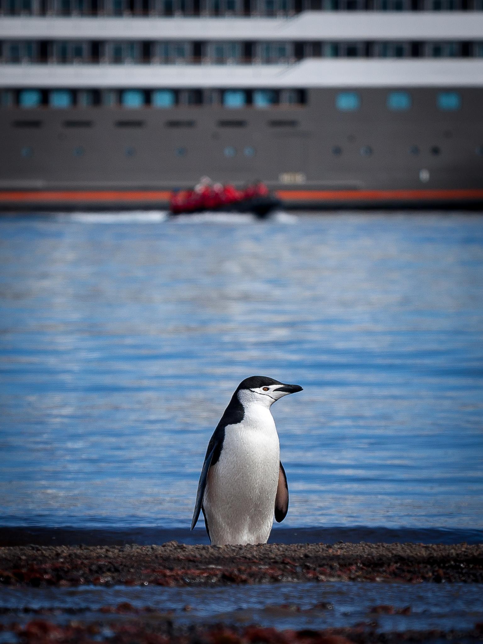 Chinstrap Penguin - Deception Island -   Tony Redhead