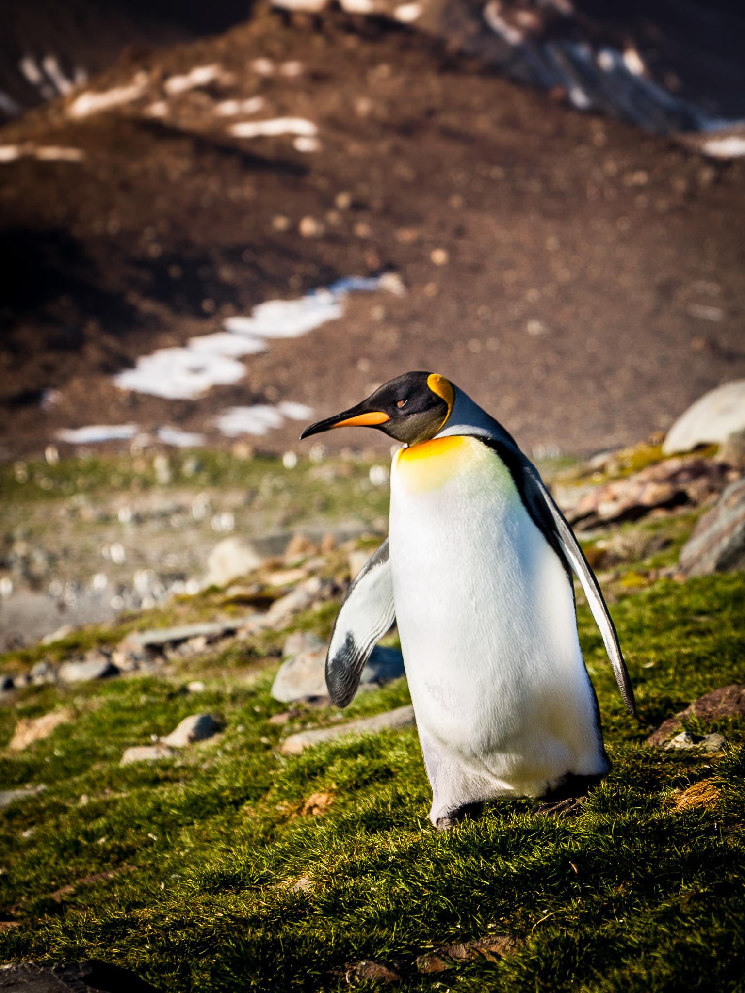 King Penguin - St. Andrews -   Kelly Redhead