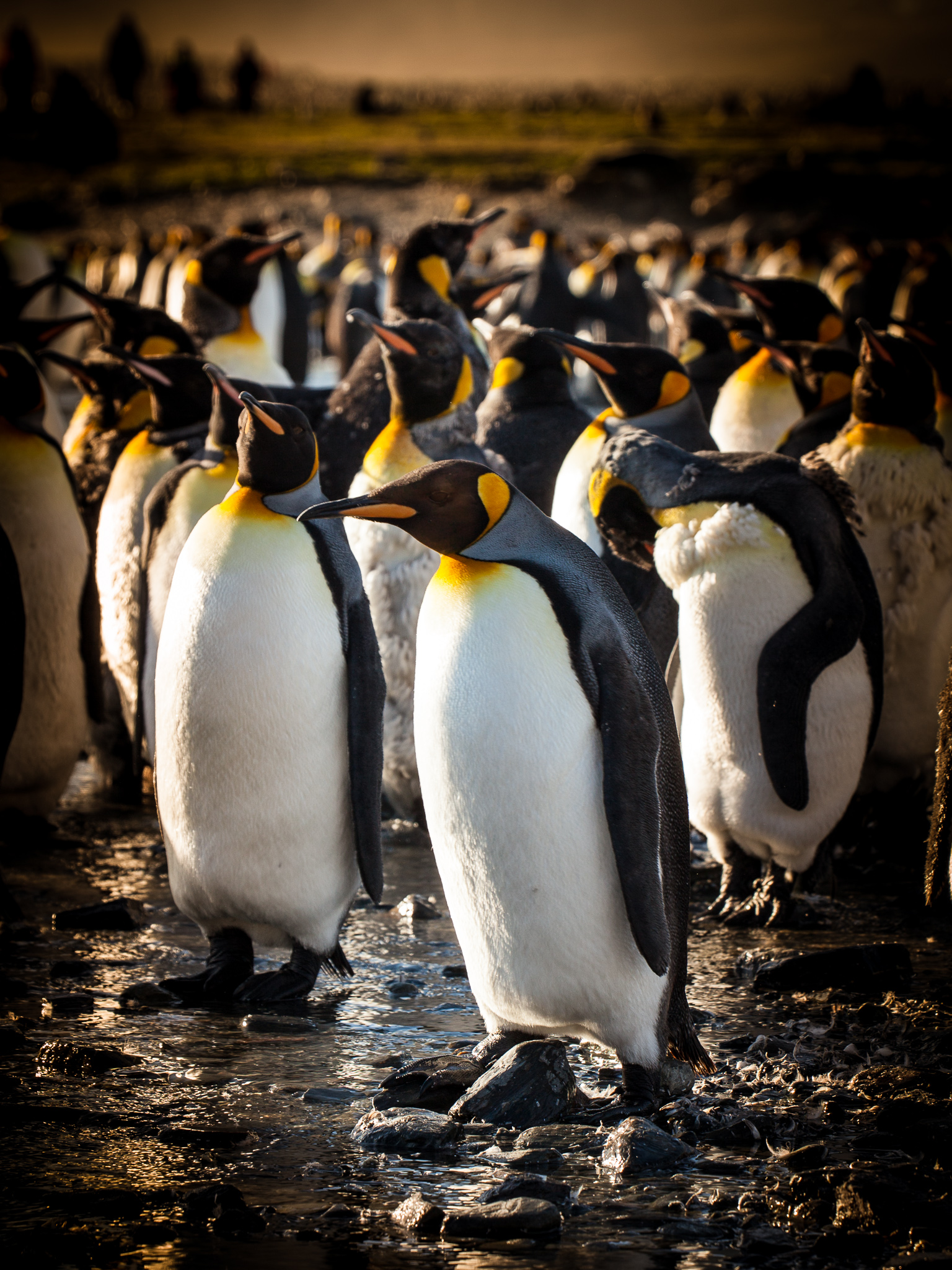 King Penguins - St. Andrews -   Kelly Redhead