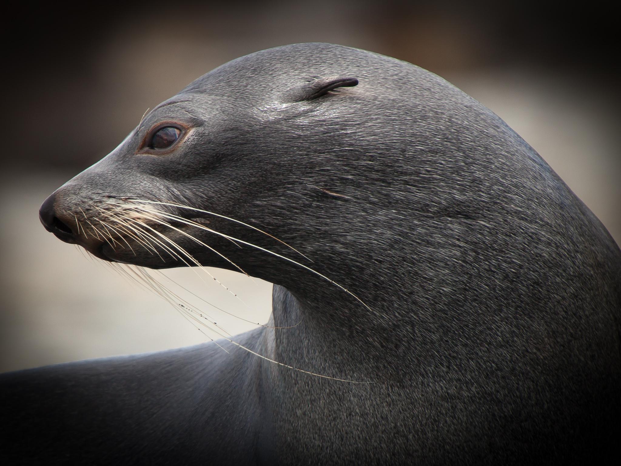 Fur Seal - Whistler Cove -   Kelly Redhead