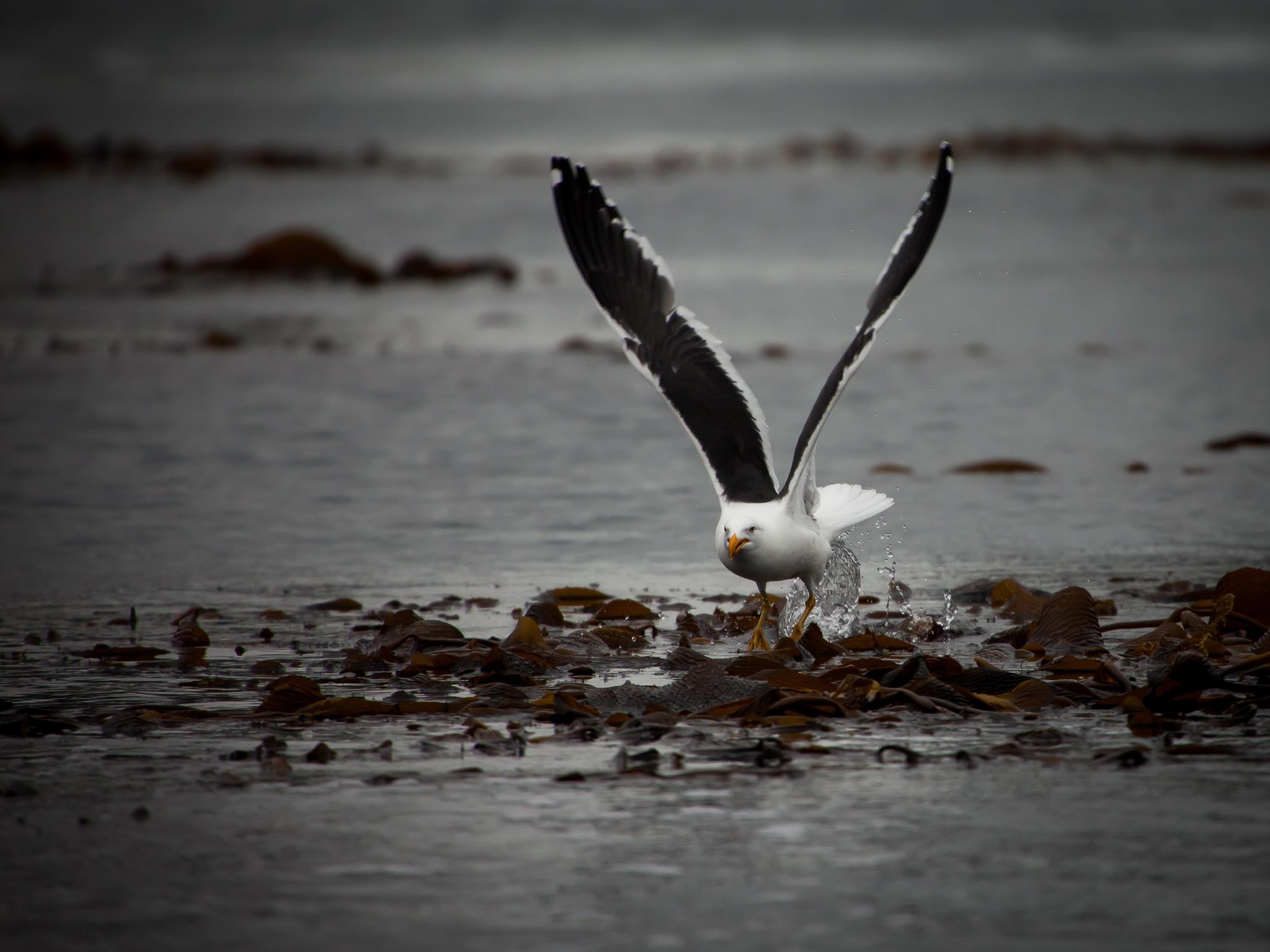 Sea Bird - Larsen Harbour -   Tony Redhead