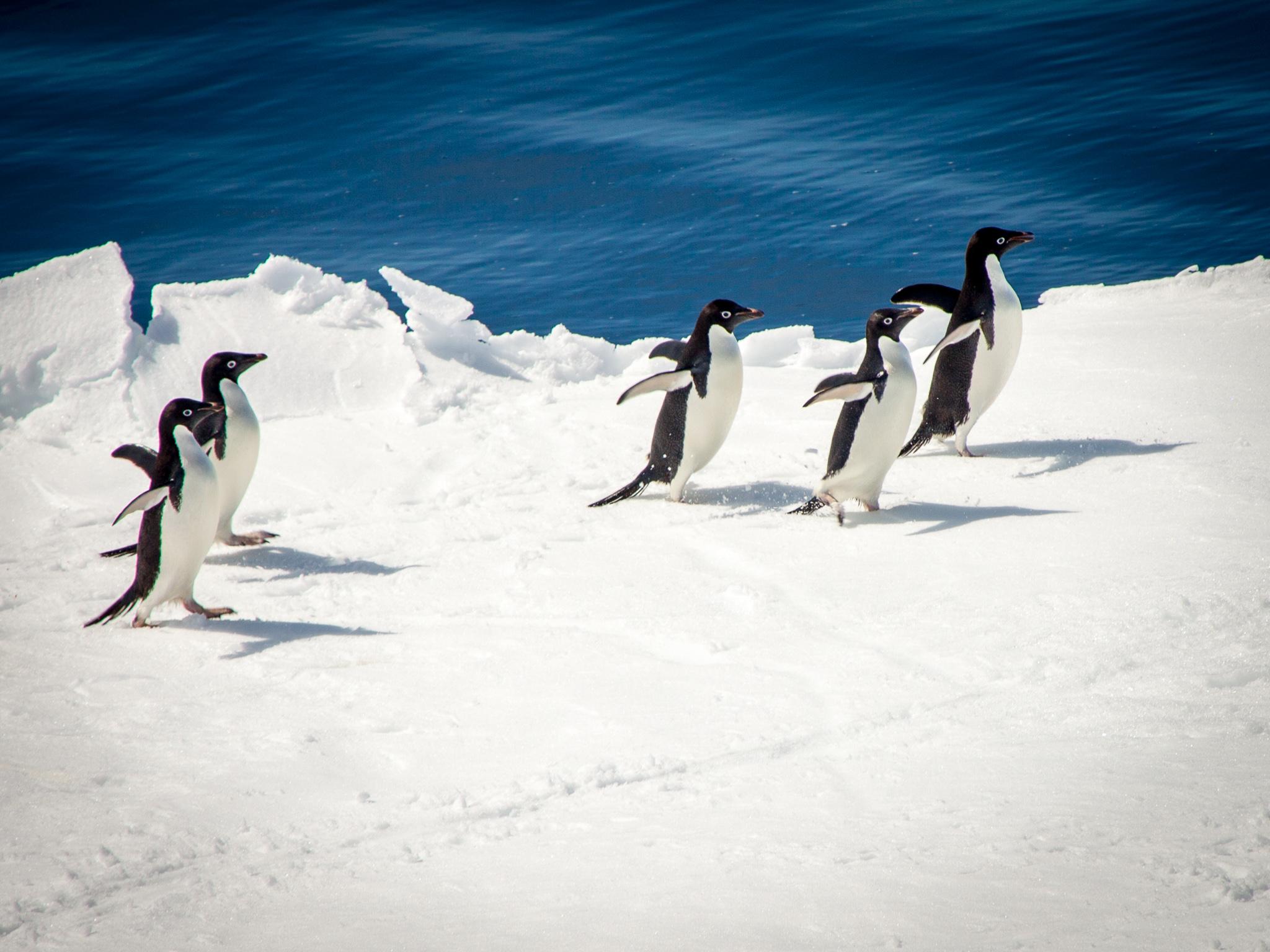 Penguins on ice floe - Weddell Sea -   Kelly Redhead