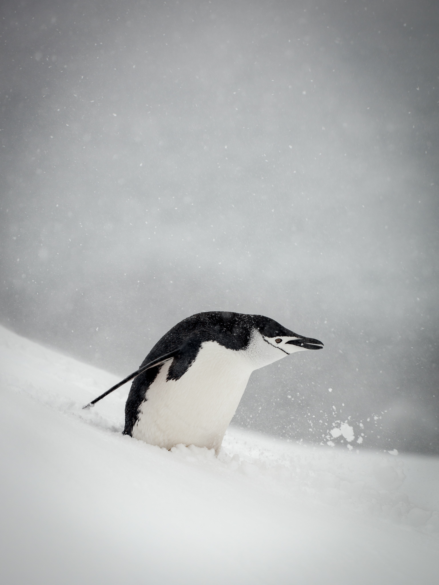 Chinstrap Penguin - Half Moon -    Kelly Redhead