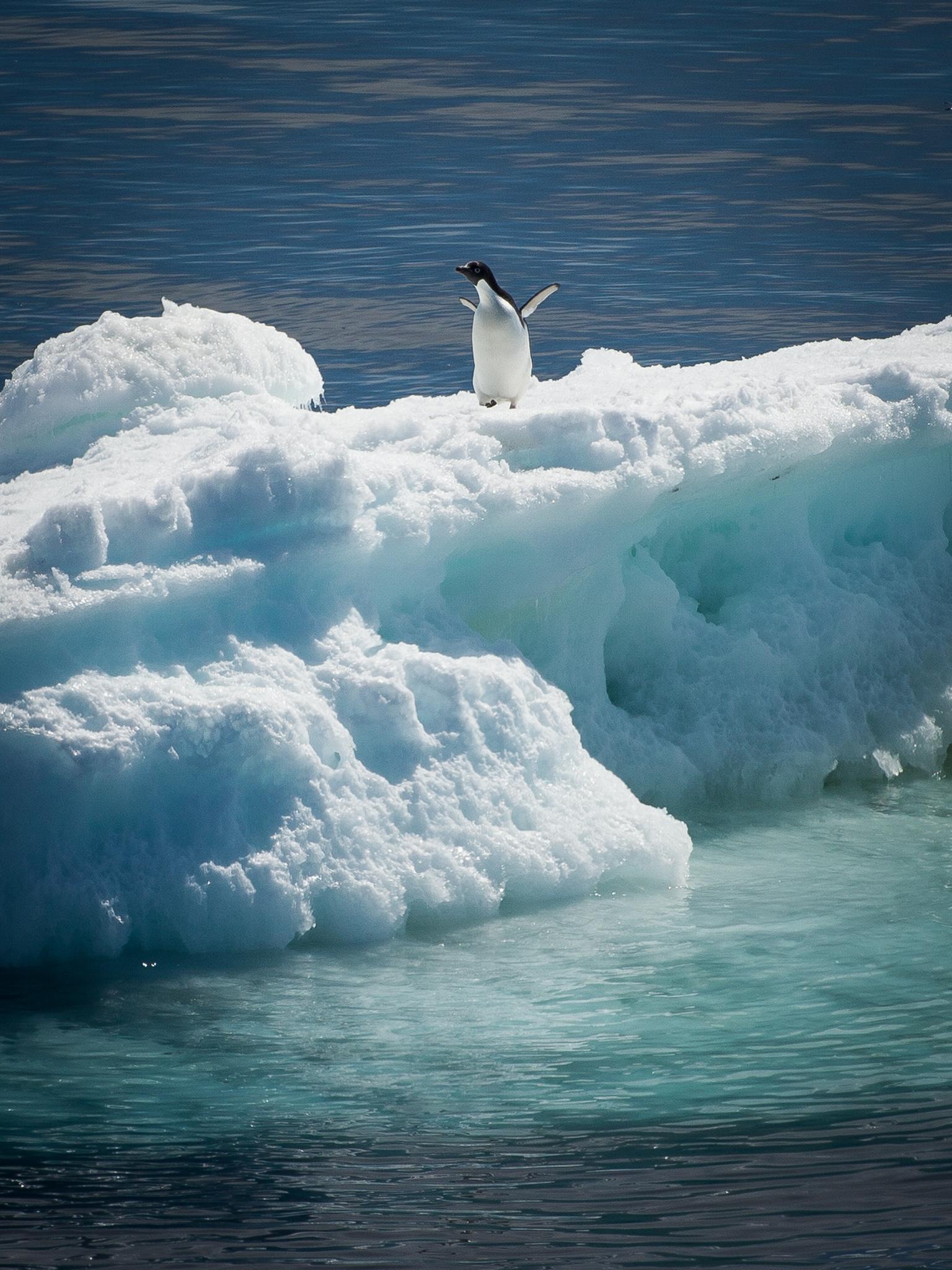 Adélie penguin- Weddell Sea  -  Kelly Redhead