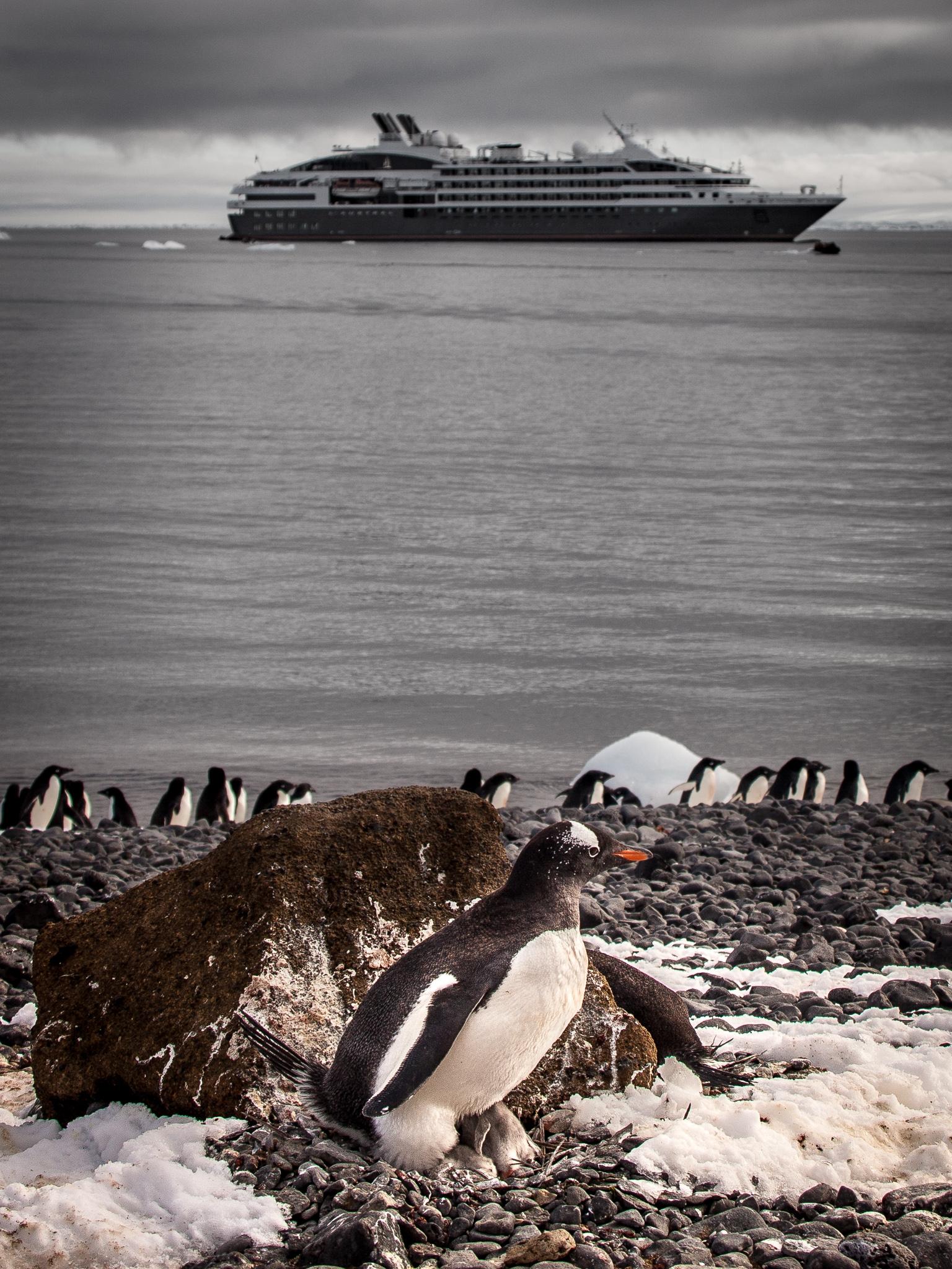 Gentoo Penguin - Brown Bluff -   Kelly Redhead