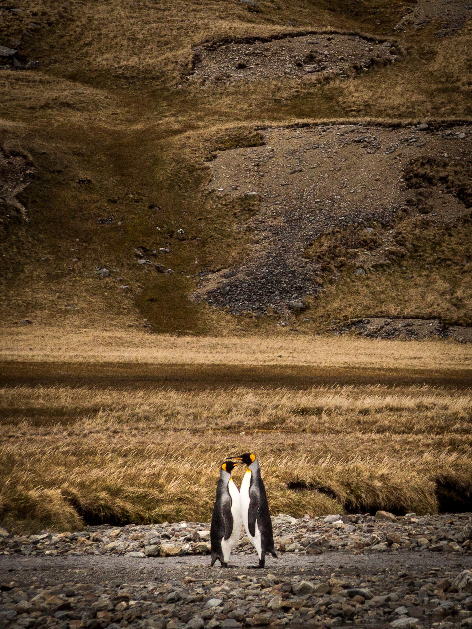 King Penguins - Shackleton Walk -    Kelly Redhead
